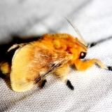 4647 Southern Flannel Moth Lake Kissimmee St Pk Fl 2-26-13