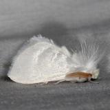 4650 White Flannel Moth Copperhead firetower Shawnee St Pk 8-6-16 (149a)_opt