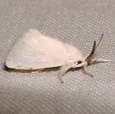 4650 White Flannel Moth Kissimmee Lake St Pk 2-22-12
