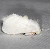 4650 White Flannel Moth yard 7-26-13