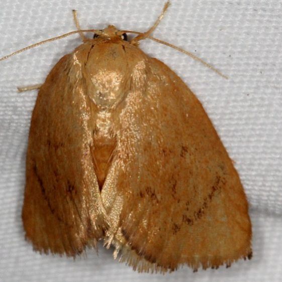 4654 Abbreviated Button Slug Moth Copperhead firetower Shawnee St Pk 8-6-16 (9a)_opt