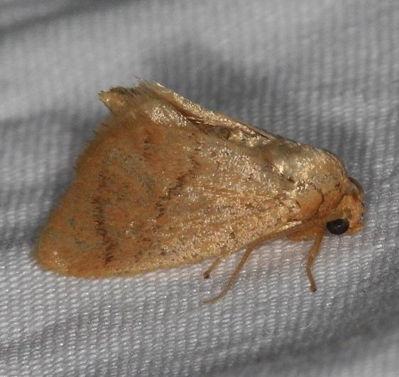 4654 Abbreviated Button Slug Moth Lake of the Woods Ontario 7-21-16 (76a)_opt