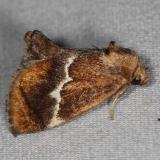 4665 Yellow-shoulderd Slug Moth yard 6-16-14