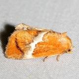 4665 Yellow-shouldered Slug Moth yard 5-19-12