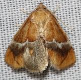 4665 Yellow-shouldered Slug Moth yard 6_16-12