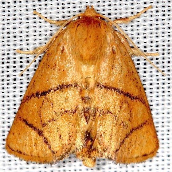 4667 Yellow-Collared Slug Moth Shawnee St Pk Oh 6-15-13