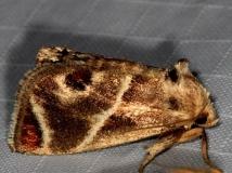 4669 Shagreened Slug Moth Copperhead firetower Shawnee St Pk 8-6-16 (53a)_opt