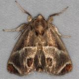 4669 Shagreened Slug Moth Turkey Lake Shawnee St Pk 6-12-15