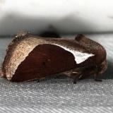 4671 Skiff Moth Prolimacodes badia Lucky Hammock Everglades 2-23-14