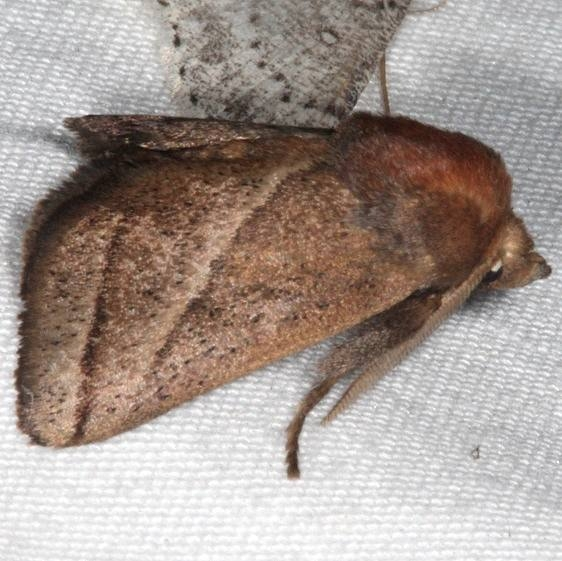 4679 Nason's Slug Moth Copperhead Firetower Shawnee St Forest 6-13-15
