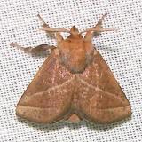 4679 Nason's Slug Moth Paynes Prairie St Pk 3-21-12