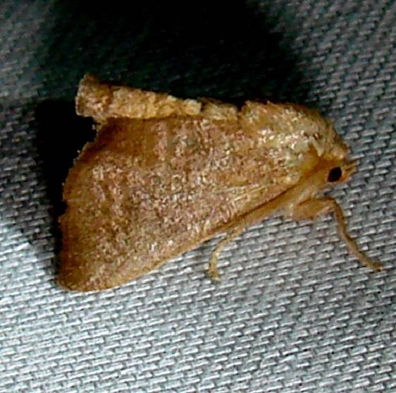 4681 Crowned Slug Moth Payne's Prairie St Pk 3-23-12