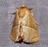 4688 Rectilinea Slug Moth Paines Prairie St Pk 3-29-11