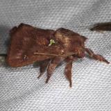 4697 Spiny Oak-slug Moth Hidden Lake Everglades Natl Pk 3-9-13