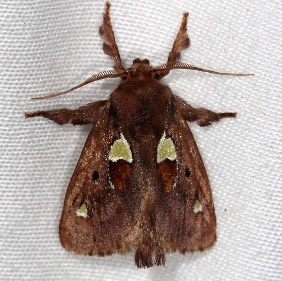 4697 Spiny Oak-slug Moth Rodman Campground Fl 3-20-14