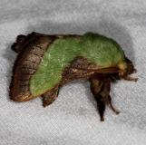 4699 Stinging Rose Caterpillar Moth Copperhead firetower Shawnee St Pk 8-6-16 (25a)_opt