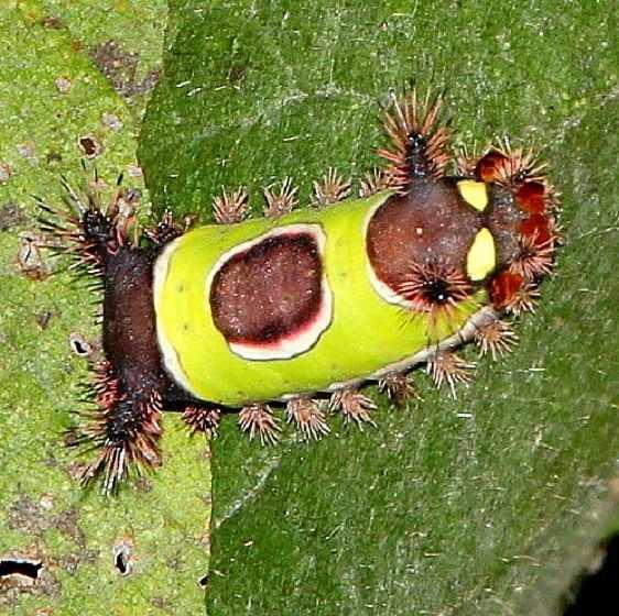 4700 Saddleback Caterpillar Black Hand Gorge Oh 9-16-15