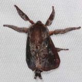 4700 Saddleback Caterpillar Moth Mahogony Hammock 2-18-14