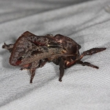 4700 Saddleback Caterpillar Moth Mahogony Hammock 2-18-14t