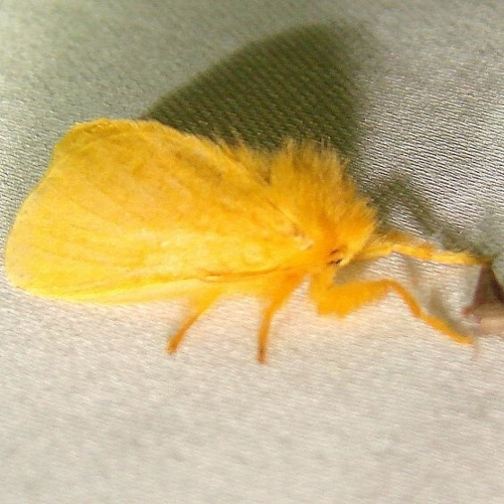 4642 Yellow Flannel Moth Kissimmee Prairie St Pk 3-10-12