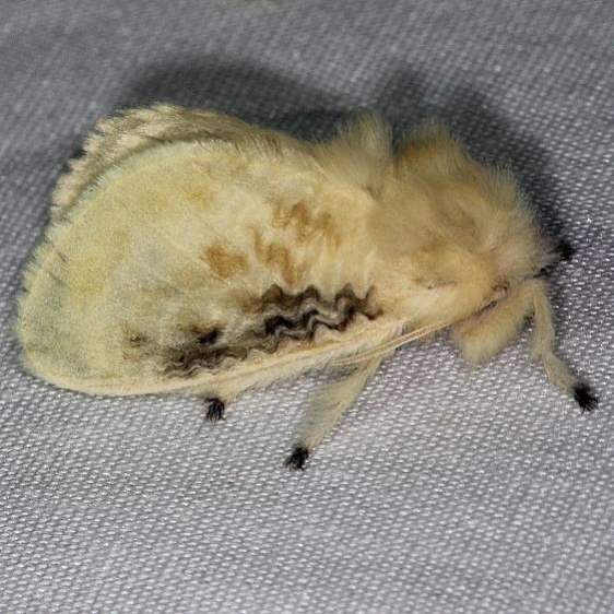 4644 Black-waved Flannel Moth Burr Oak St Pk at cabins Oh 6-27-14