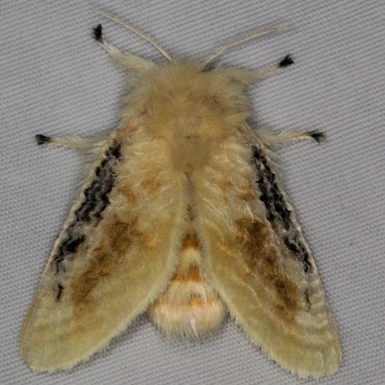 4644 Black-waved Flannel Moth Turkey Lake Shawnee St Pk 6-12-15