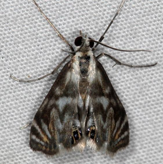 4743 Scrollwork Pyralid Moth Lake Kissimmee St Pk Fl 3-1-17_opt