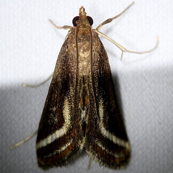 4763 Floating-heart Waterlily Moth Everglades Natl Pk Nike Missle Rd 3-7-13