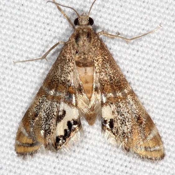 4774 Two-banded Petrophila Moth yard 8-31-15