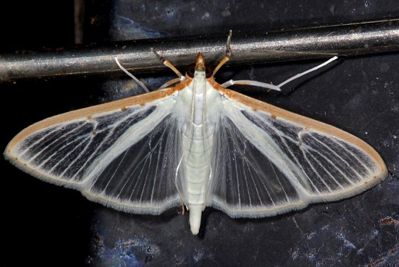 5218 Four-spotted Palpita Moth Campsite 119 Falcon St Pk Texas 10-23-16_opt