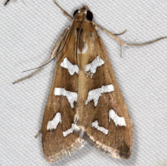 5256 Fractured Western Snout Moth Campsite 119 Falcon St Pk 10-22-16_opt
