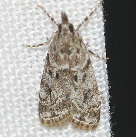 4719 Many-spotted Scoparia Leslie's House Tenn 8-25-12