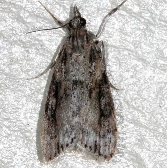 4730 Eudonia spenceri Moth Cherry Tree Inn Victoria BC 8-15-14