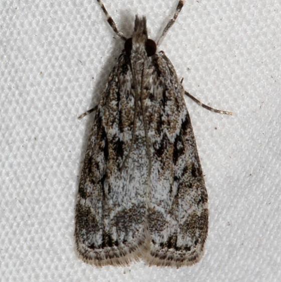 4739.97 Unidentified Eudonia BG Mueller St Pk Colorado 6-18-17