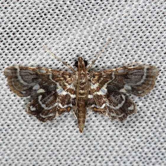 4741 Undulambia polystichalis Collier Seminole St Pk 3-1-14
