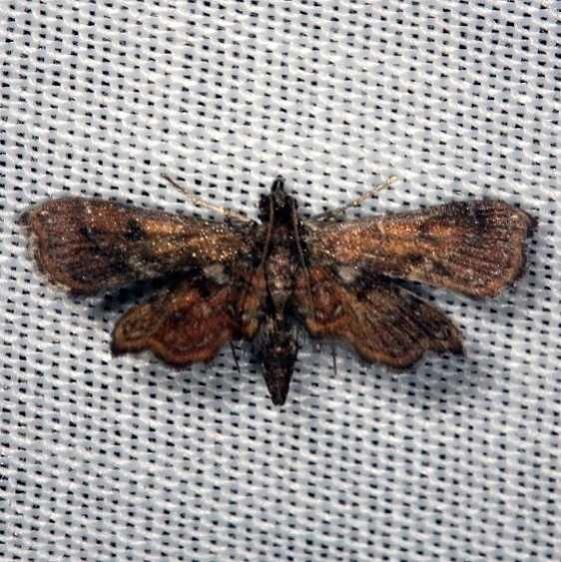 4741 Undulambia polystichalis Lucky Hammock Everglades 2-22-14