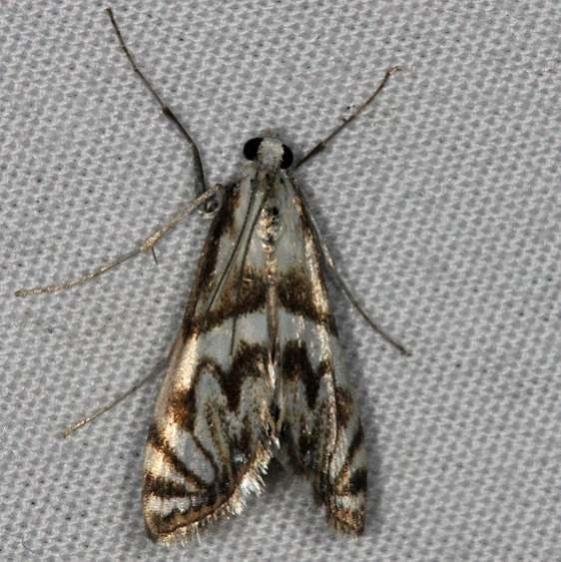 4743 Scrollwork Pyralid Moth Oscar Scherer St Pk Fla 3-14-15