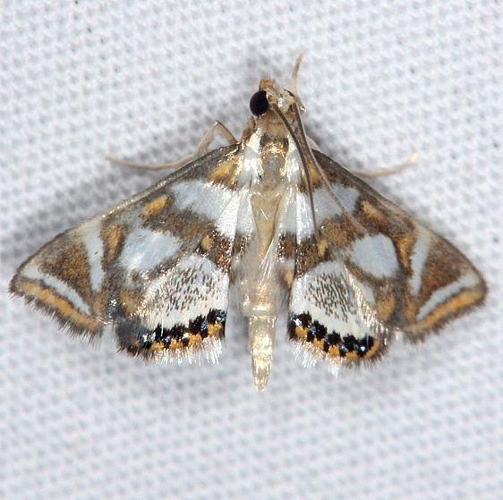 4744 Bold Medicine Moth Burr Oak St Pk at cabins Oh 6-27-14