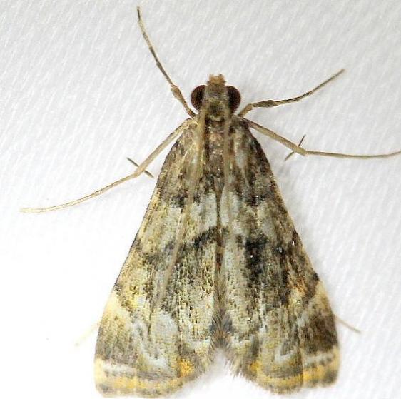 4744 Bold Medicine Moth Everglades Natl Pk Nike Missle Rd 3-5-13
