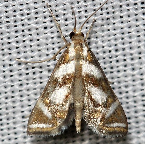 4744 Bold Medicine Moth yard 6-14-12