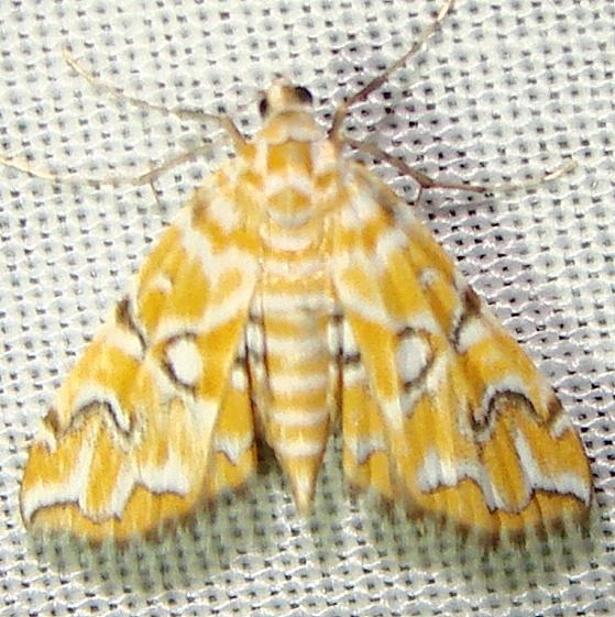 4748 Pondside Pyralid Moth Kissimmee Lake St Pk 2-23-12