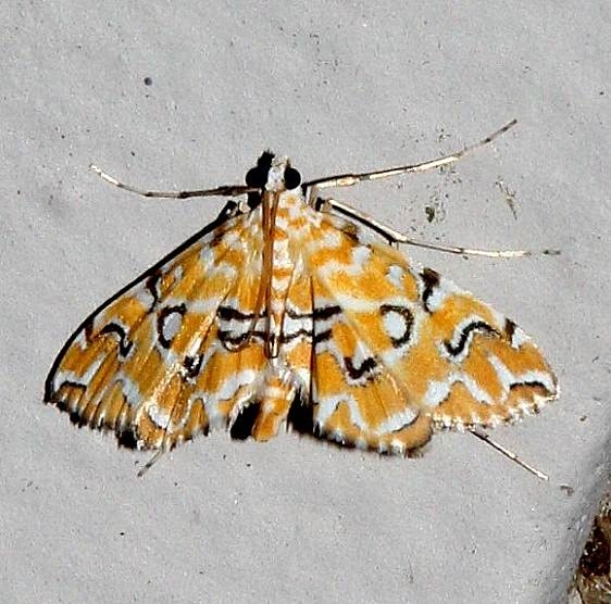 4748 Pondside Pyralid Moth Osceola Natl Frt Ocean Pond 3-24-15