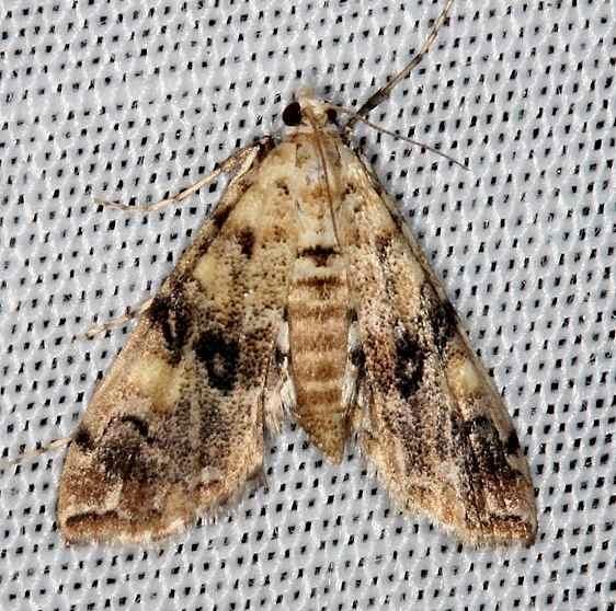 4749 Elophila faulalis Lucky Hammock Everglades 2-22-14
