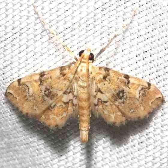 4749 Elophila faulalis Mahogany Hammock Everglades Natl Pk 3-10-13