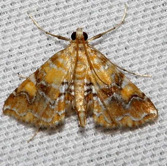 4750 Nebulous Munroessa Moth Kissimmee Prairie St Pk 3-12-13