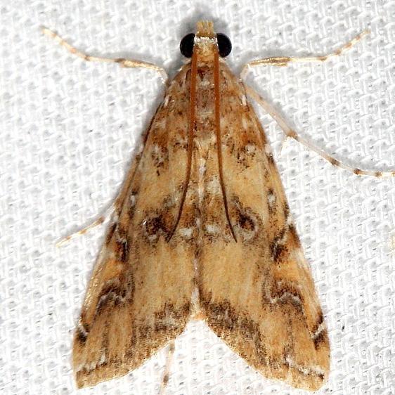 4751 Waterlily Borer Moth Lake Kissimmee St Pk Fl 2-26-13