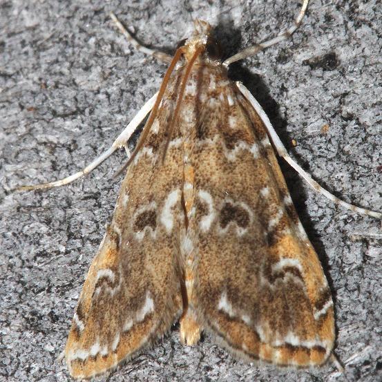 4751 Waterlily Borer Moth Mahogany Hammock Everglades Natl Pk 3-10-13