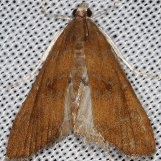 4751 Waterlily Borer Moth Wolf's Den Shawnee St Pk 8-7-16 (53a)_opt