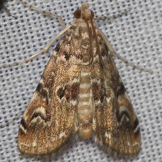 4751 Waterlily Borer Moth yard 9-2-12_opt