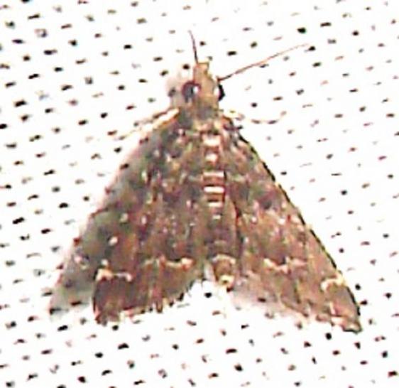 4753 China Mark Moth Kissimmee Prairie St Pk 3-9-12
